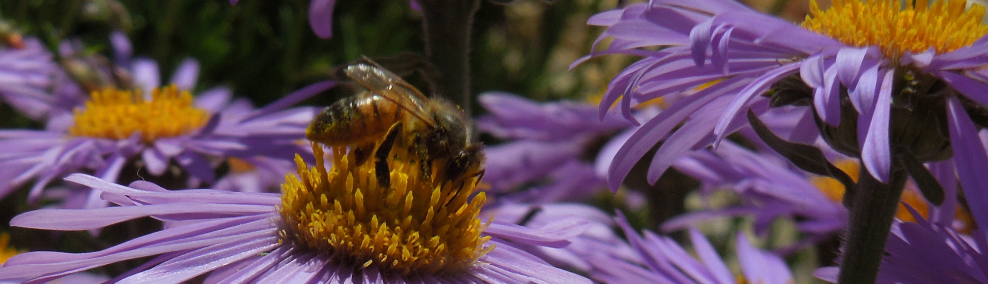 bee on purple flower header